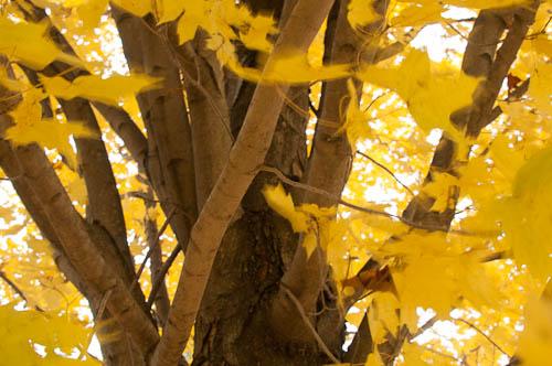 Autumn tree. Digital Humanities.  Taken at Seton HIll University, Greensburg, PA.